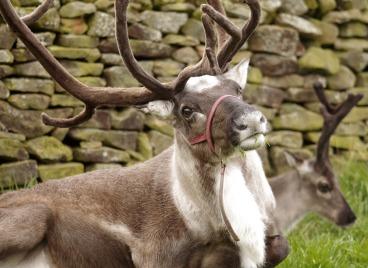 reindeer-2393844_1920